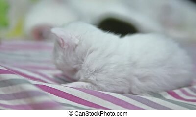 White cute funny kitten cat lying on the bed