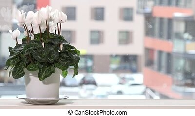 White cyclamen flower in pot on window sill and snow falling outside in winter