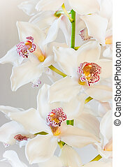 White Cymbidium or Boat orchid flowers