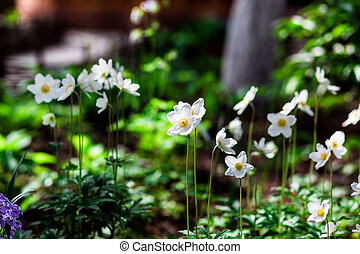 White daffodil flower in the field, in garden. Daffodil flowers in sunlight. Field of white daffodils or narcissus or suisen. spring-summer concept, flowers concept, spring garden, spring flowers