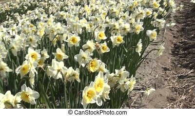 White daffodils (Geranium) (Narcis) - Daffodil (Narcissus)...