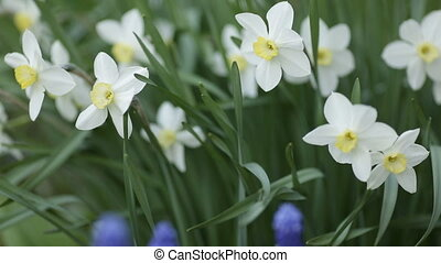 White daffodils. Spring booming flowers with morning light...