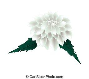 White Dahlia Flower on A White Background