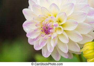 white dahlia flower with rain drops in the garden, soft focus.