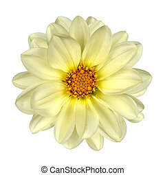 White Dahlia Flower Yellow Center Isolated