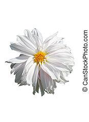 White dahlia.