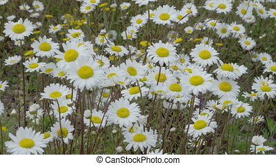 White daises on the field waving on the breeze of the wind...