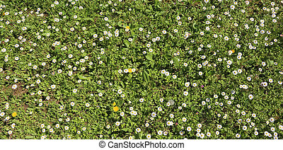 white daisies blooming on a green meadow in the spring