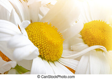 White daisies close-up in the rays of sunlight