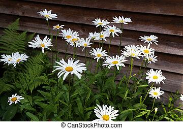 White daisies grow in the garden near the house