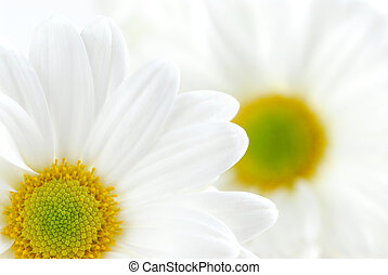 Macro image of two white daisies flowers