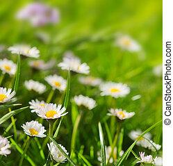White daisies meadow.