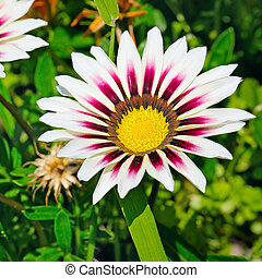 white daisies on a background of green leaves