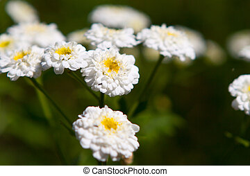 white daisies on a green background