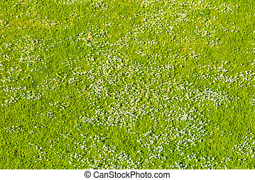 White daisies on a green lawn in spring