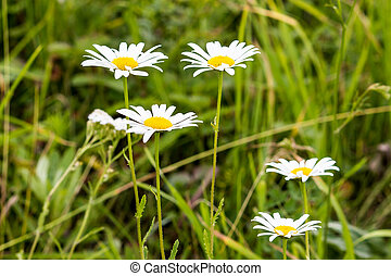 White daisies on a summer green meadow