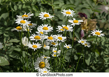 daisies on a sunny summer day