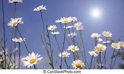 White daisies on blue sky backgroun - Summer field with...