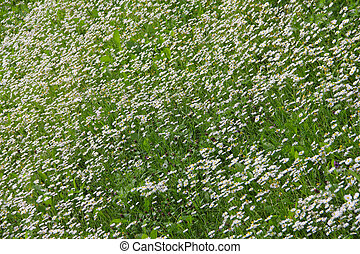 White daisies on meadow
