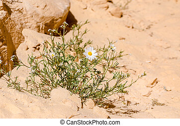 white daisies on the sand in the desert close up