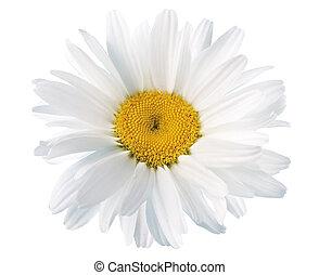 White daisies on white background