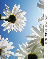 White daisies over blue sky