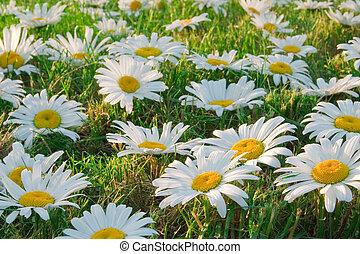 White daisies in a meadow, close-up. Focus on the bottom of...