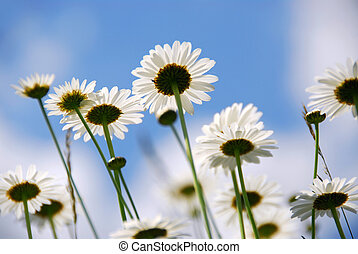White daisies - White summer daisies reaching towards blue...