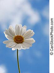 White  daisy against a  sky