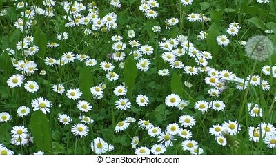 White daisy - Beautiful white daisy growing in a summer...