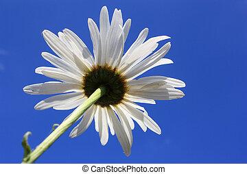 White Daisy, Blue Sky