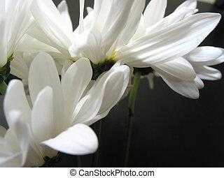 White daisy closeup 1