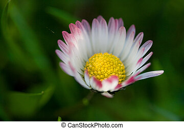 White daisy flower in the grass