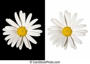 White daisy flower on isolated background