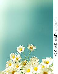 White daisy flowers against the sky