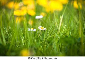 White daisy flowers in grass in spring wind close-up macro with soft focus on a meadow in nature. A beautiful soft light gentle dreamy green background,