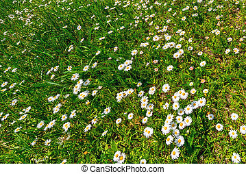White daisy flowers on a green grass