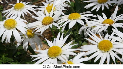 White Daisy Flowers - This is a video of white daisy...