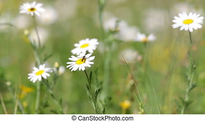 White daisy growing - Beautiful white daisy growing in a...