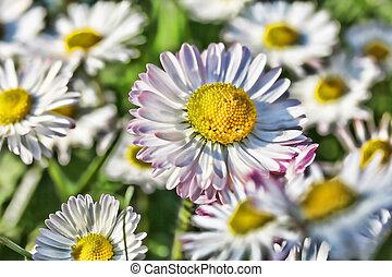 White daisy HDR