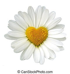 Heart shaped white daisy isolated over white