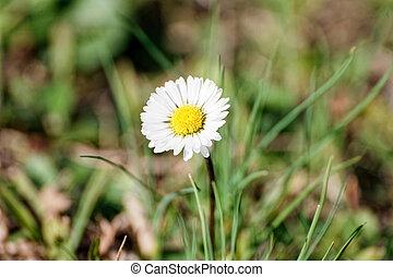 white daisy in a garden