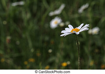 White daisy in a meadow
