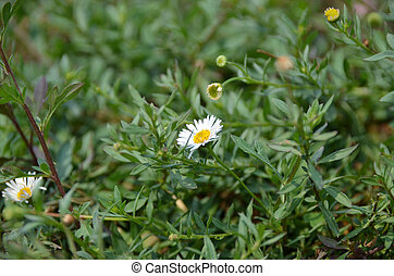 White daisy in the field