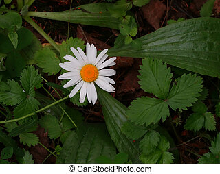 White daisy in the grass field