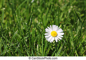White Daisy in the grass