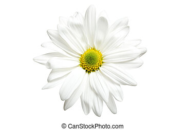 white daisy chrysanthemum isolated on white, highkey macro