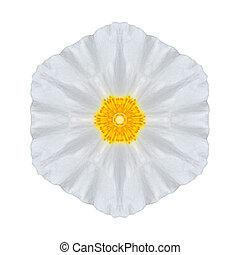 White Daisy Mandala Flower Kaleidoscopic Isolated on White