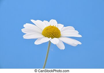 White  daisy on a blue background
