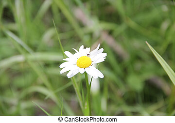 white Daisy on a field on a background of green grass